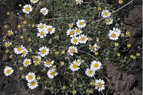 Anthemis aetnensis