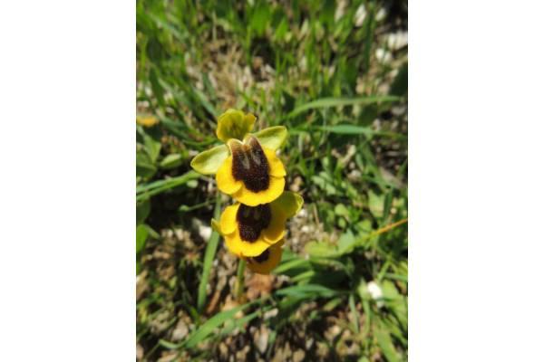 Ophrys-lutea-FICUZZA-23.4.15-10 (1)