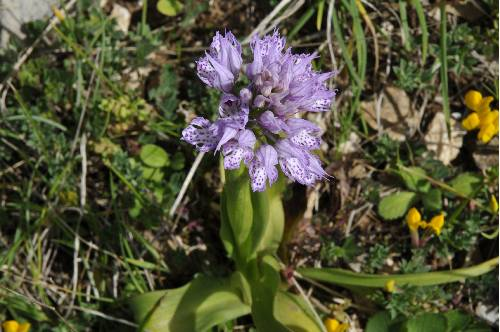 Orchis commutata