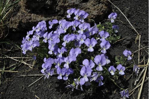 Viola aetnensis